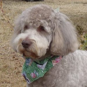 groomed labradoodle